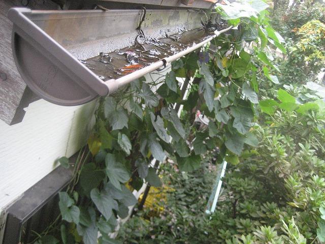 雨樋に雑草溜まりの写真